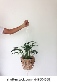 Philodendron xanadu in Macrame Plant Hanger . On a white background