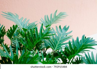 Philodendron xanadu is one of three subgenera within the genus Philodendron. Shown here agains a salmon pink background
