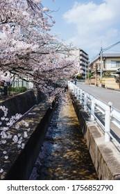 The Philosopher's Path in the spring season, with blooming sakura. Tetsugaku-no-michi, Kyoto, Japan.