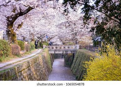 Philosopher's Walk with sakura (cherry blossom) in the Springtime. Kyoto, Japan.