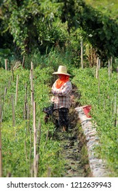 Phitsanulok province/Thailand - Oct 12 2018 ; countryside in Thailand farmer come to local pepper garden.A farmer harvesting to export in local and country.