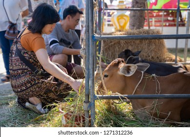 PHITSANULOK, THAILAND - JANUARY 1, 2019:  Women offers an grass to a cow in Phitsanulok province, Thailand