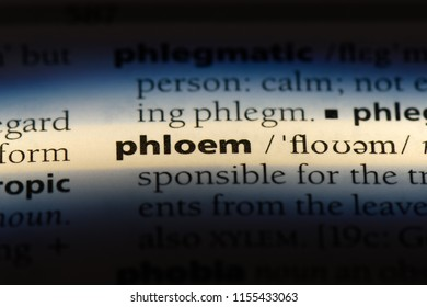 phloem word in a dictionary. phloem concept.