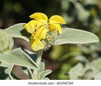 Phlomis fruticosa, Shrubby Brandkraut