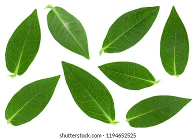 Phlox flower leaf set closeup isolated on white background