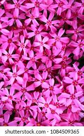 Phlox flower spring background