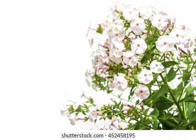 Phlox flowers on white background.