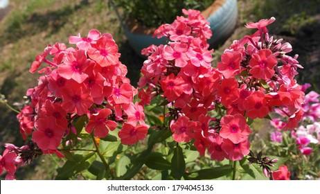 Phlox flowers, a soft crimson color, in the garden.