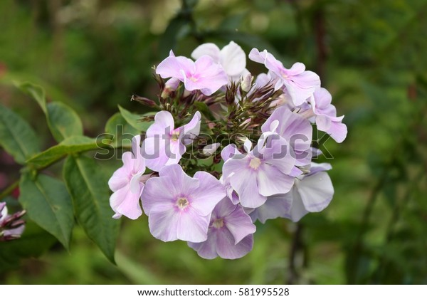 Phlox of gently lilac color in cloudy day. Flower vegetable Background horizontally.Polemoniaceae Family.