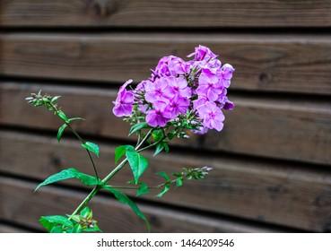 Phlox on a wooden wall. Phlox paniculata. Garden phlox.