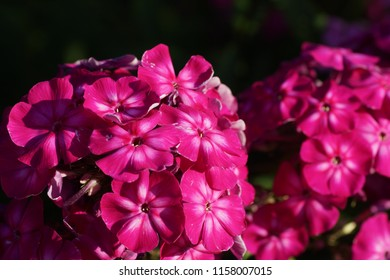 Phlox paniculata, fall phlox, garden phlox, perennial phlox