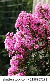 Phlox paniculata, fall phlox, garden phlox perennial phlox