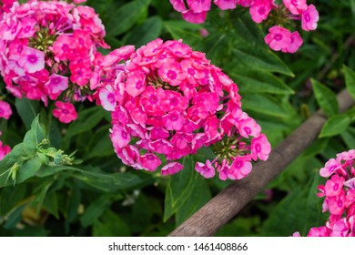 Phlox paniculata, garden phlox flower, perennial phlox