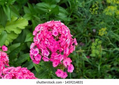 Phlox paniculata, garden phlox perennial phlox