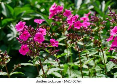 Phlox paniculata. Pink flowers in the garden.