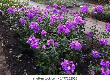Phlox paniculata is a species of flowering plant in the family Polemoniaceae. Phlox paniculata is an erect herbaceous perennial plant. It is extensively cultivated as an ornamental plant.