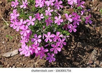Phlox pilosa (Downy phlox, Prairie phlox, Fragrant phlox). It is native to North America.