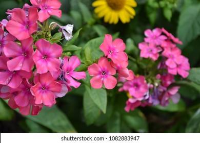 Phlox. Polemoniaceae. Growing flowers. Flowerbed. Garden. Floriculture. Pink summery. Beautiful. Horizontal