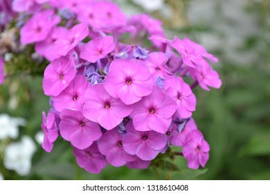 Phlox. Polemoniaceae. Growing flowers. Flowerbed. Garden. Floriculture. Violet inflorescence. Beautiful flowers. Green leaves. High bushes. Summer day. Horizontal photo