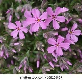 Phlox subulata - Shutterstock ID 188106989