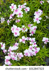 Phlox subulata amazing grace pink flowers with red core with green