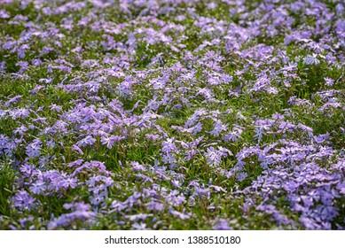 Phlox subulata, creeping phlox, moss phlox, mountain phlox. The small, five-petaled flowers bloom in blue. Concept My garden