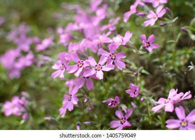 Phlox subulata (creeping phlox, moss phlox or mountain phlox) flowers background. Close up of beautiful pink flowers