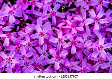 Phlox subulata (creeping phlox, moss phlox, moss pink, or mountain phlox) flowers background. Many small purple flowers with dew for background, top view