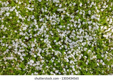 Phlox subulata, or creeping phlox, moss phlox, moss pink, mountain phlox is a species of flowering plant in the family Polemoniaceae