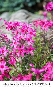 Phlox subulata (creeping phlox, moss phlox, moss pink, or mountain phlox). Pink flowers in the garden.