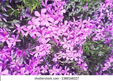 Phlox subulata (creeping phlox, moss phlox, moss pink, or mountain phlox) flowers background.