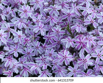 Phlox subulata (creeping phlox, moss phlox, moss pink, or mountain phlox) is a species of flowering plant in the family Polemoniaceae.