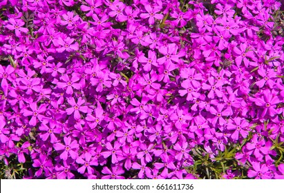 Phlox subulata (creeping phlox, moss phlox, moss pink, or mountain phlox) flowers background. Many small purple flowers for background, top view.