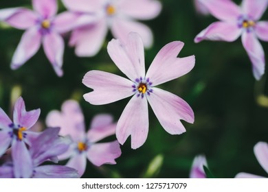 Phlox subulata flower(creeping phlox, moss phlox, moss pink, or mountain phlox) is a species of flowering plant in the family Polemoniaceae