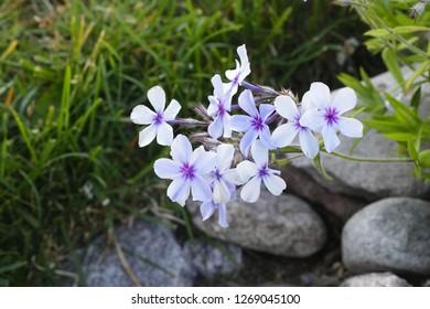 Phlox subulata, known as creeping phlox, moss phlox, moss pink, or mountain phlox