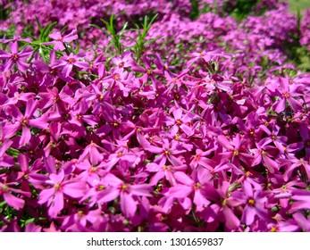 Phlox subulata, moss phlox or mountain phlox flowers background. Purple flowers for background, top view. Creeping phlox