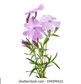 Phlox subulata ( Moss phlox, Rock pink) isolated on white background