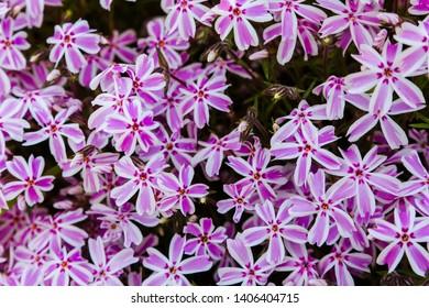 Phlox subulata in spring garden.  Phlox subulata is plant for rock garden.