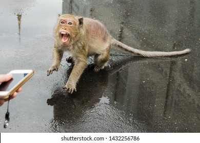 PHNOM PENH, CAMBODIA - Aug 06, 2017: A macaque monkey, suffering from fur loss, attacks a tourist who gets too close to take a picture. Its teeth are showing, and pose a rabies risk, Asia