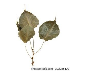 Pho leaf dry white background.