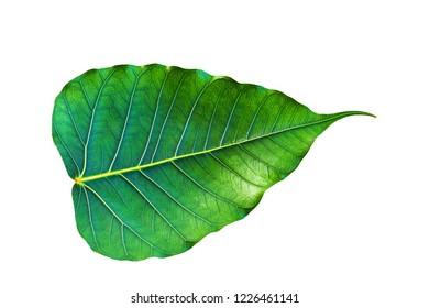 Pho leaf on white background.
