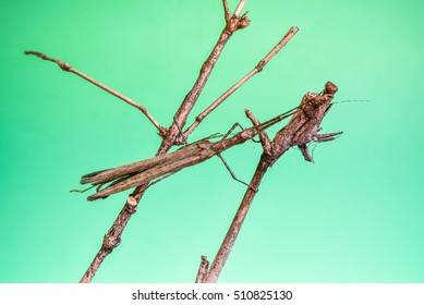 Phobaeticus are breeding well