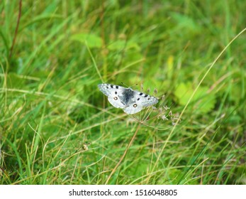 Phoebus Apollo or small Apollo (Parnassius phoebus) white butterfly with black dots