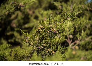 Phoenician juniper bush or arar (Juniperus phoenicia) with berries on the coast of Capo Mannu, Sardinia. Close up of berries on a sunny day with some motion blur.