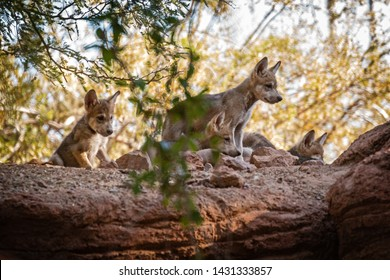Phoenix, Arizona/USA - June 22, 2019: Six week old critically endangered Mexican Gray Wolf pups born at The Arizona Center for Nature Conservation/Phoenix Zoo