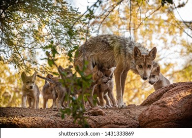 Phoenix, Arizona/USA - June 22, 2019:  The Arizona Center for Nature Conservation/Phoenix Zoo recently welcomed a litter of six critically endangered Mexican Gray Wolves.