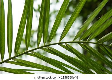 Phoenix canariensis palm leaf
