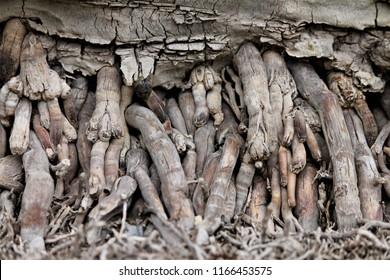 phoenix canariensis roots