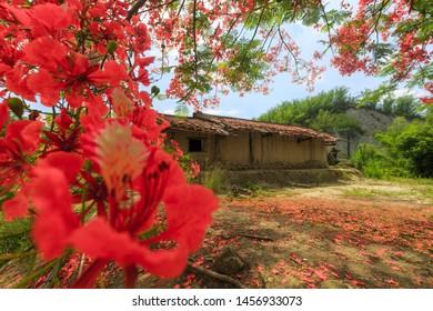 Phoenix Flower against the house in Tsaoshan Moonscape Scenic Area,Taiwan