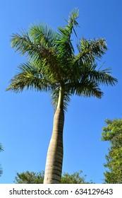 Phoenix palm trees in the field